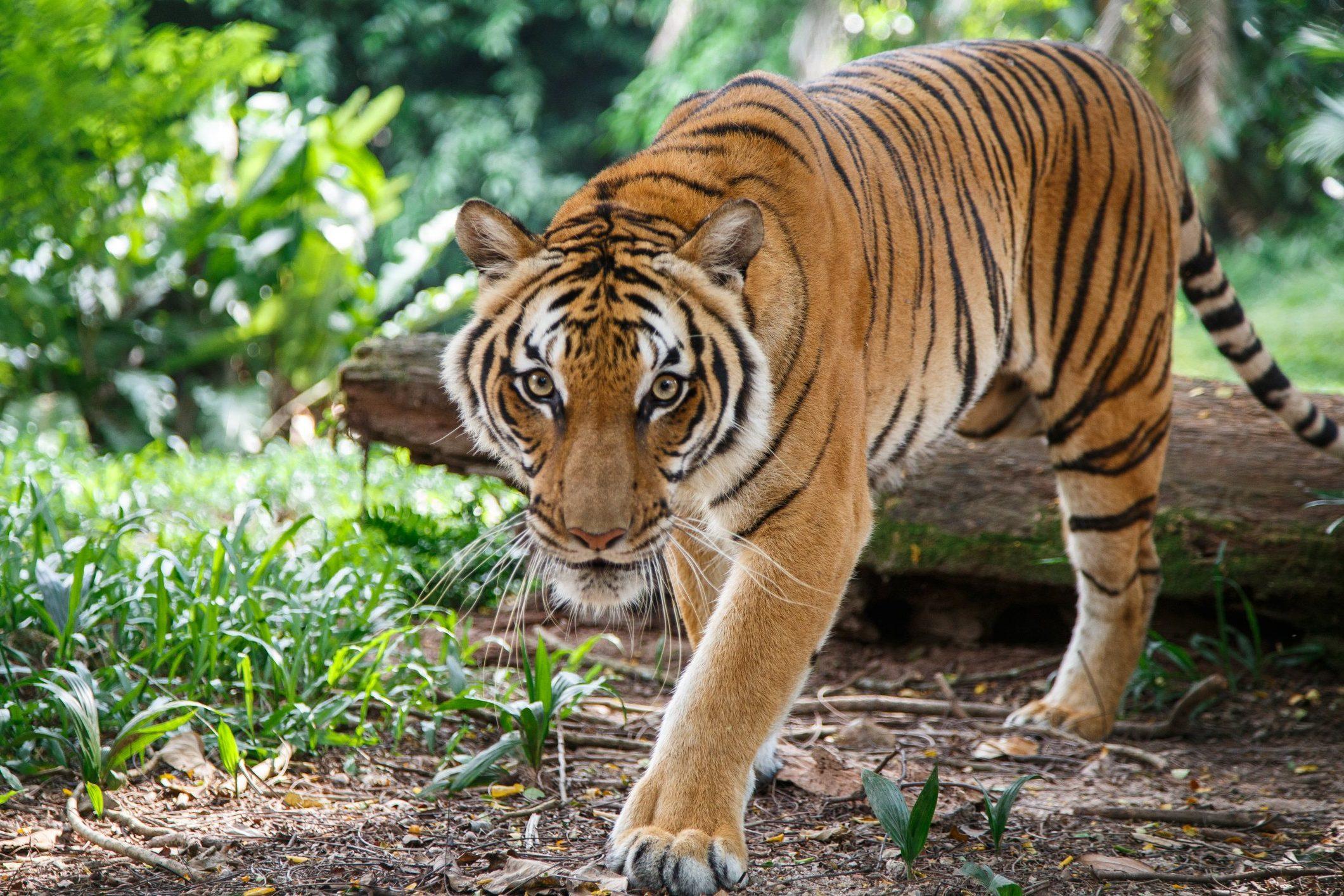 International Tiger Day 2021 - National Awareness Days Calendar 2021